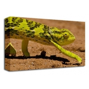 Chameleon, Lizard, Reptile