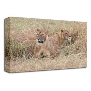 Lions, Cats 2