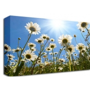 Daisies in the Sun Floral